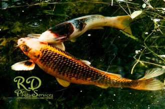 Two Koi Feeding